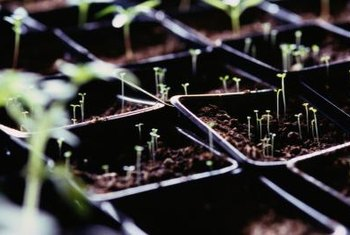 After tomato seedlings germinate, let the soil dry out a little between waterings to prevent fungus.