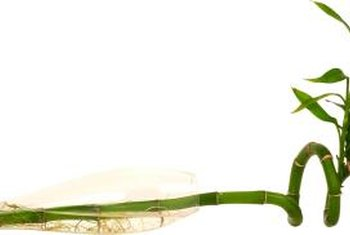 Lucky bamboo represents wood and water in the art of feng shui.