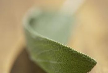 Sage leaves are velvety and silvery-gray.