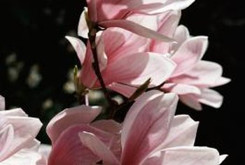 Magnolia blossoms add delicate color and a pleasant fragrance to a yard.