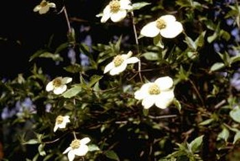 The flashy white bracts of the Pacific dogwood strongly resemble flower petals.