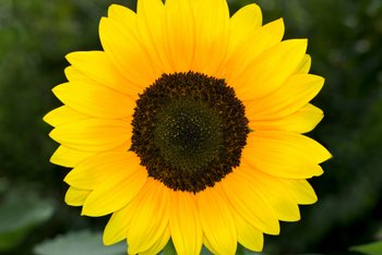 Sunflowers can have yellow to red rays and a purple-brown center disk.