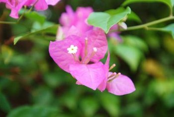 Bougainvillea bracts range in color from white, yellow and pink to lavender, red and burgundy.
