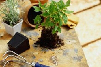 Repot the plant in sterile soil if it is seriously infested with gnats.