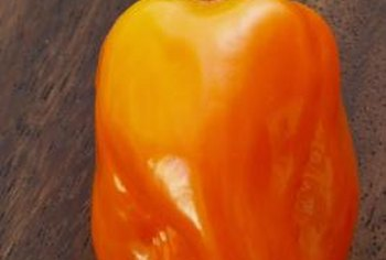 The 1- to 2-inch habanero fruits are rated at 200,000 Scoville heat units.