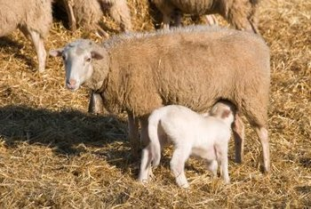 Raw organic sheep's milk is an excellent source of calcium.