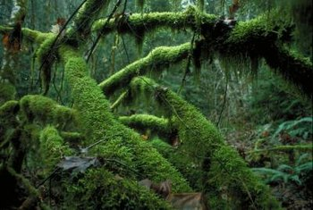Although commonly thought to cover only the north side of trees, moss covers all sides under ideal conditions.
