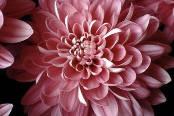 Chrysanthemum seeds may not grow true to type.
