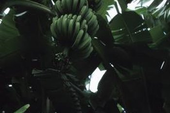 A mature banana plant showing hands of bananas