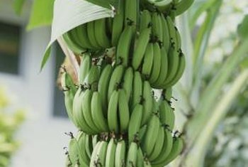 Remove any fruit bunches before injecting chemicals to kill a banana plant.