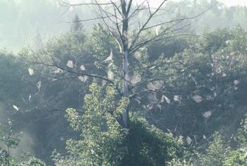 Webs from the Eastern tent caterpillar and fall webworm are often observed in roadside trees.
