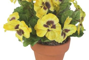 Pots of pansies bring cheer to winter days.