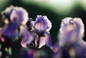 Bearded irises are named for the bit of fuzz down the center of each fall.