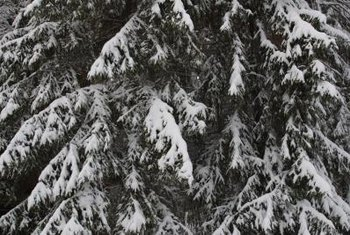 Select spruce trees are pendulous evergreens.