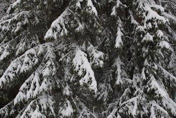 Pendulous Evergreen Trees Home Guides Gate
