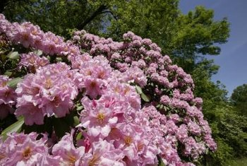 Companion plants complement rhododendron blooms.