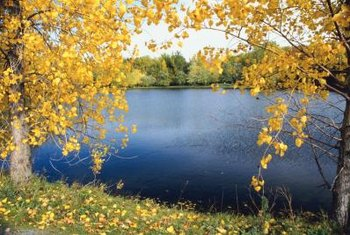 Cottonwood trees provide autumn color in the home landscape.