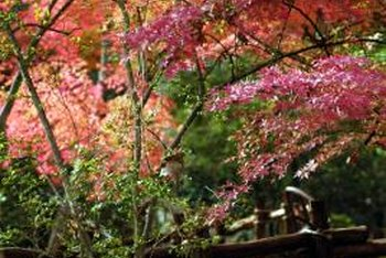 Japanese maples display extraordinary fall color.
