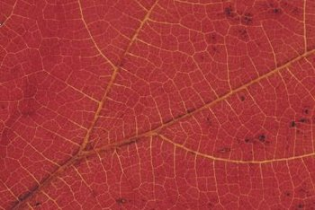 Lace leaf maples have deep red, ornamental leaves.