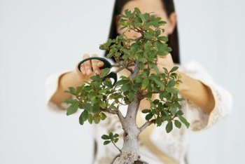 Jade bonsai responds quickly to pruning.