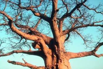 Baobab trees can live for more than 1,000 years.
