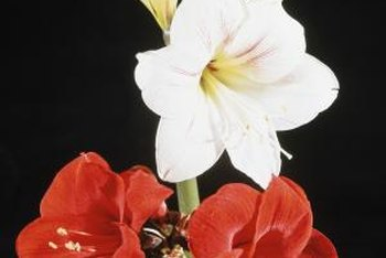 Amaryllis produces red, white or pink flowers.