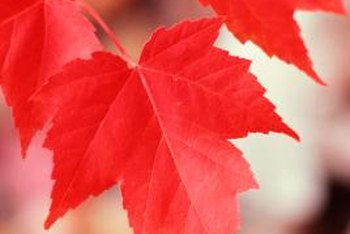 Maple tree leaves provide vibrant fall color.