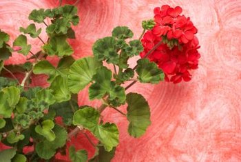 Proper watering keeps geraniums blooming and healthy.