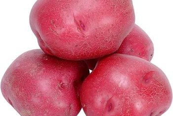 A number of red potato varieties offer resistance to blight, a common fungal disease affecting potatoes.
