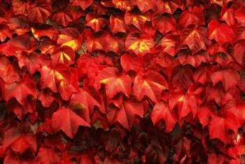 Virginia creeper is native to the eastern United States.
