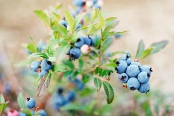 Blueberries begin to ripen in late spring and early summer.