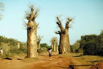 Queensland bottle trees grow wild in hot, arid climates.