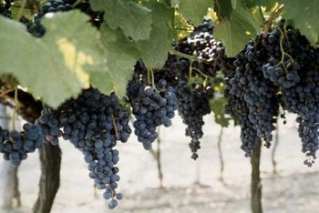 Grapevines require full-sun sites.