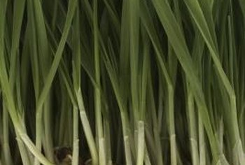 Wheatgrass can be eaten in raw stalks, although this is uncommon.