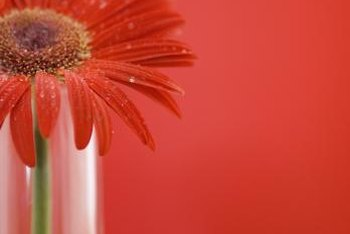 Water in vases for Gerbera daisies should be no more than 1 inch deep.