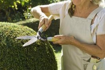 Evergreen shrubs with a natural round shape eliminate the need for pruning for shape.