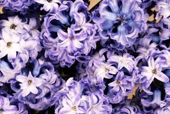 You can plant potted hyacinth bulbs outdoors, but they are not guaranteed to bloom again.