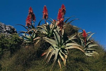Bitter aloe (Aloe ferox) is hardy to 20 F.