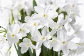 Grow paper white daffodils in pebbles indoors anytime of year.