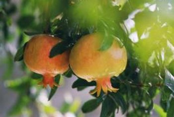 Dwarf pomegranates can be grown in pots and brought indoors for the winter in cold areas.