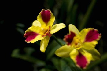 Dendrobium orchids grow in a variety of climates and come in a wide range of colors.