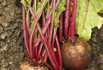 Turnip plants require a good start to produce large, tasty roots.