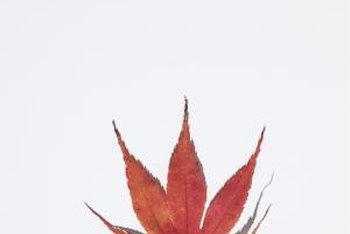The shape of a Japanese maple leaf is often the tree's distinguishing characteristic.