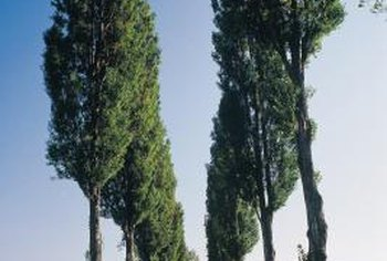 Lombardy poplars can grow more than 100 feet tall.