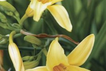 Daylilies can flower in spring, summer or fall, depending on the variety.