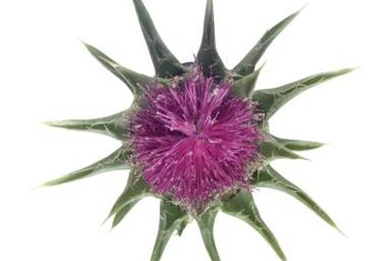 You don't want to touch the spines of a thistle plant.