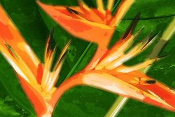 Bird of paradise is a tropical plant native to southern Africa.