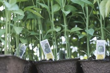Make sure the soil is right before you transplant pepper seedlings.
