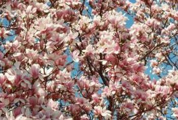 Magnolias liven the landscape with tiny, pale pink blossoms.