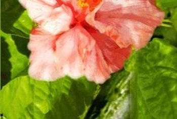 Double bloom hibiscus trees produce ruffled flowers throughout the summer.